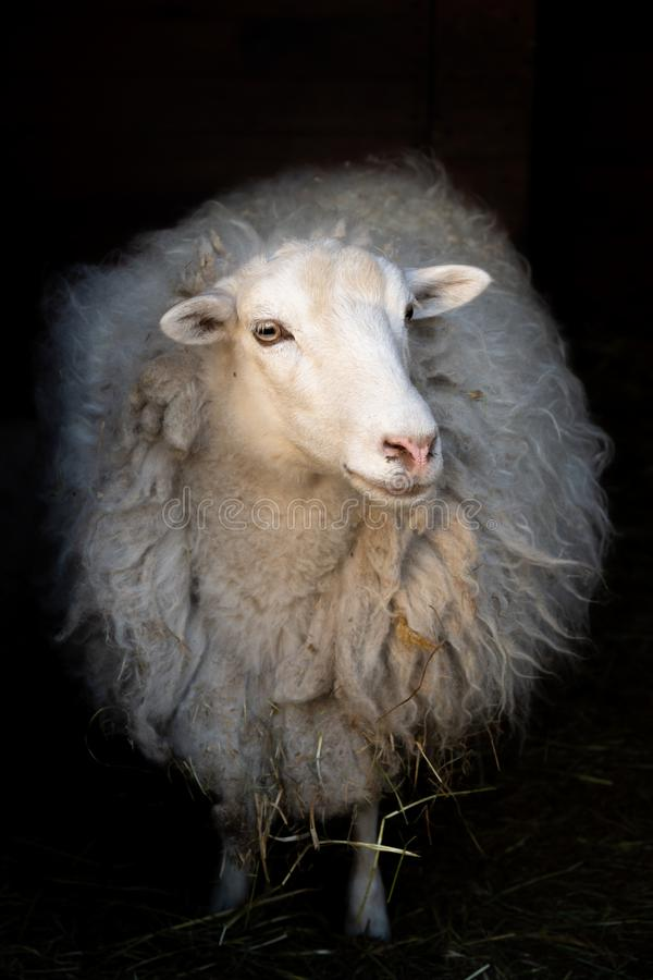 Artistic portrait of white sheep. Artistic full length portrait of white sheep on dark background royalty free stock photography