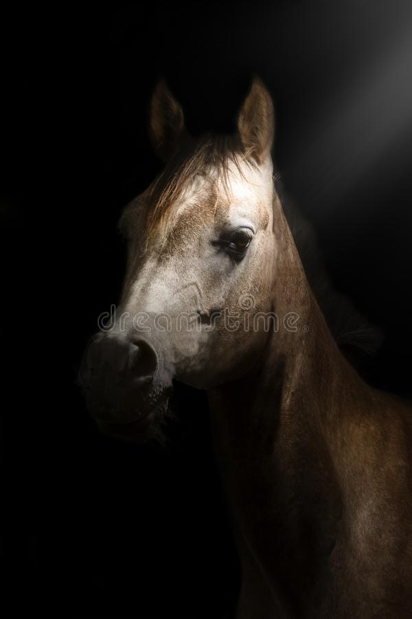 Artistic portrait of a young Purebred Arabian horse with black background royalty free stock image
