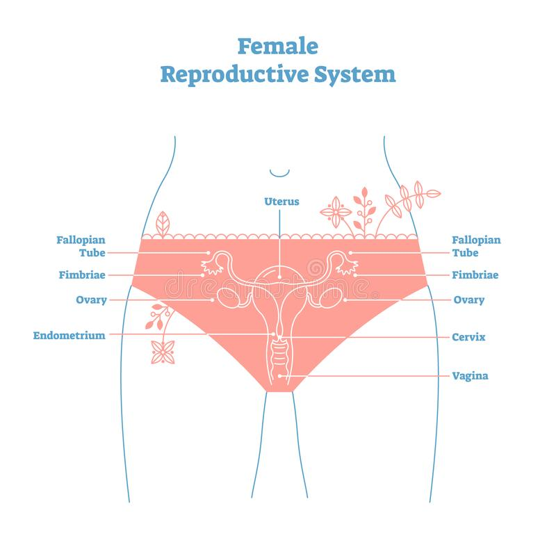 Artistic style female reproductive system vector illustration educational poster. Health and medicine labeled diagram vector illustration
