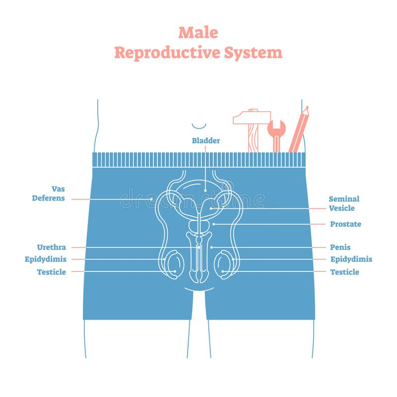 Artistic style male reproductive system vector illustration educational poster. Health and medicine labeled diagram. Male sexual organ cross section with stock illustration