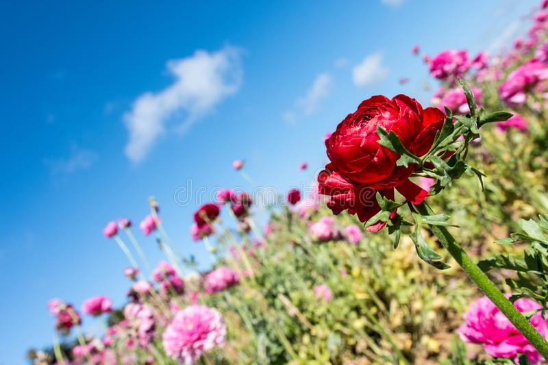 Artistic view of a red Giant Ranunculus flower against a blue sky stock images