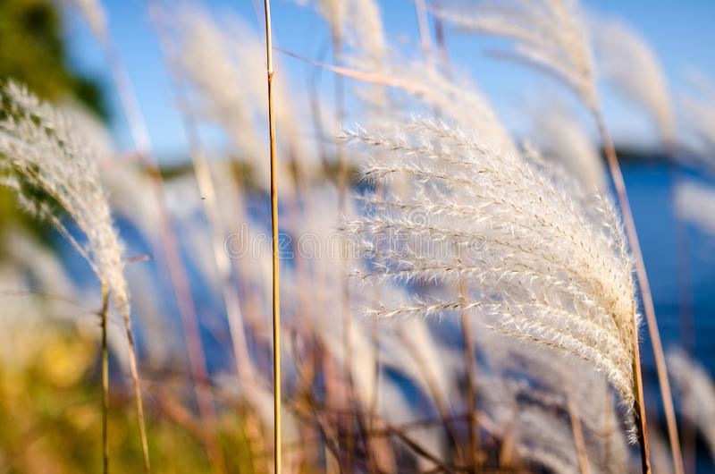 Artistic view of white reeds against a blue sky along a lake. Artistic view of white reeds against a blue sky along Lake Minnetonka in Minnesota in the fall stock image