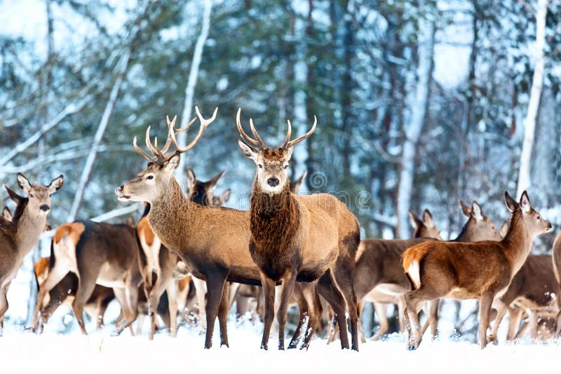 Artistic winter christmas nature image. Winter wildlife landscape with noble deers Cervus Elaphus. Many deers in winter.  stock photo
