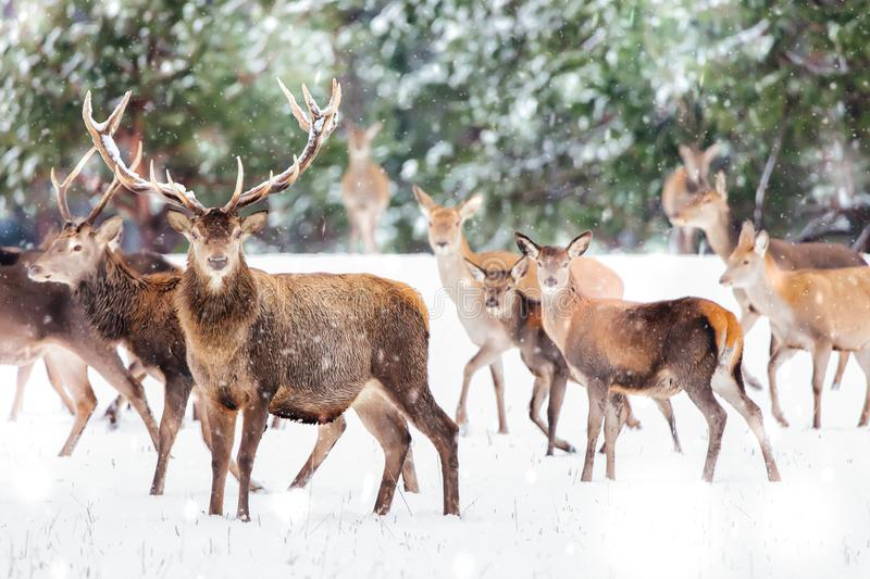 Artistic winter christmas nature image. Winter wildlife landscape with noble deers Cervus Elaphus. Many deers in winter. Deer with royalty free stock images
