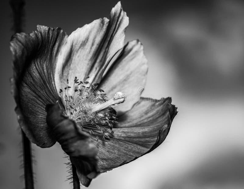 Artistick black and white photography of Himalayan blue poppy. Meconopsis betonicifolia royalty free stock photo