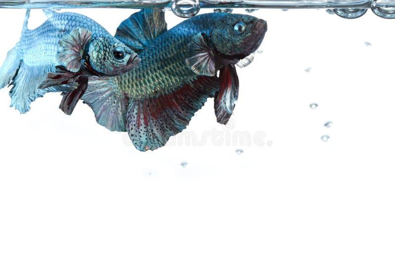 Artistiek paar betta het vechten vissen, met waterspiegelgrens stock foto