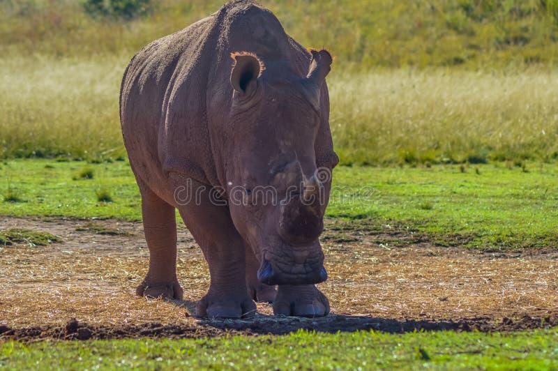 Artistieke foto van a, bedreigde mannelijke stieren witte Rinoceros in een spelreserve in Johannesburg Zuid-Afrika royalty-vrije stock foto