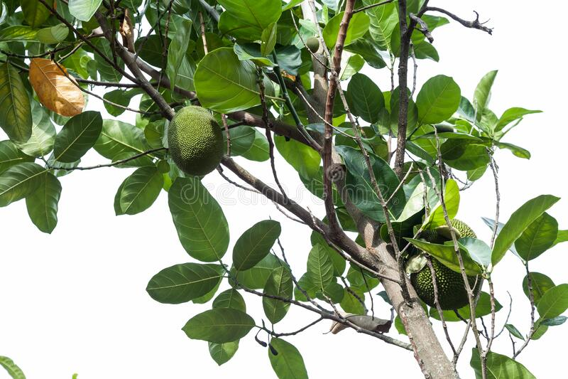 Artocarpus altilis - fruktträdet arkivbild