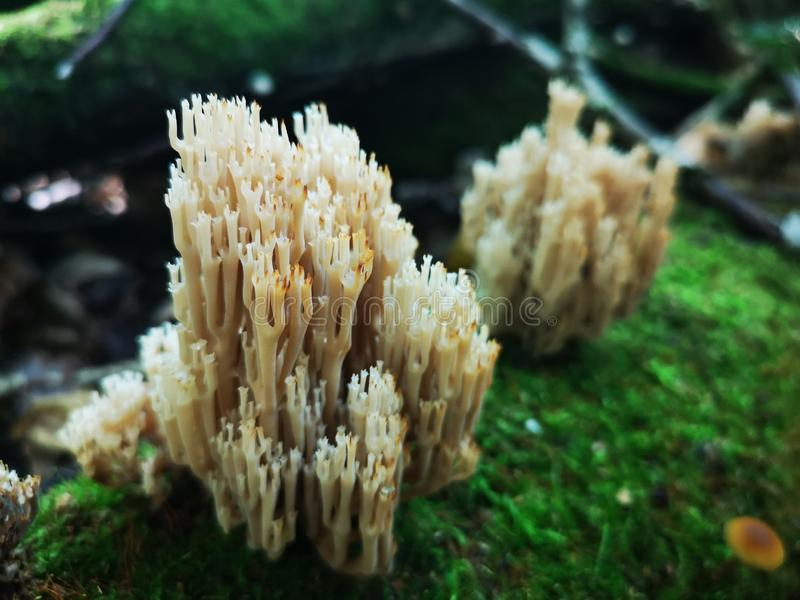 Mushrooms growing in the wild forest Artomyces pyxidatus stock photos