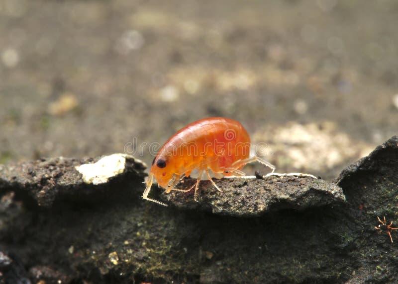 Artrópodes alaranjados na terra fotografia de stock
