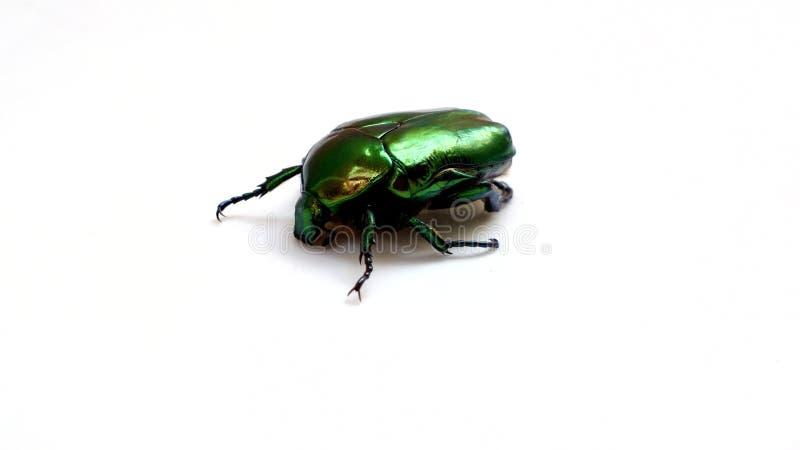 Artrópodes, close up do bronzova do ouro do escaravelho do inseto imagens de stock