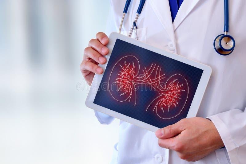 Arts die een nier op een tabletclose-up tonen royalty-vrije illustratie