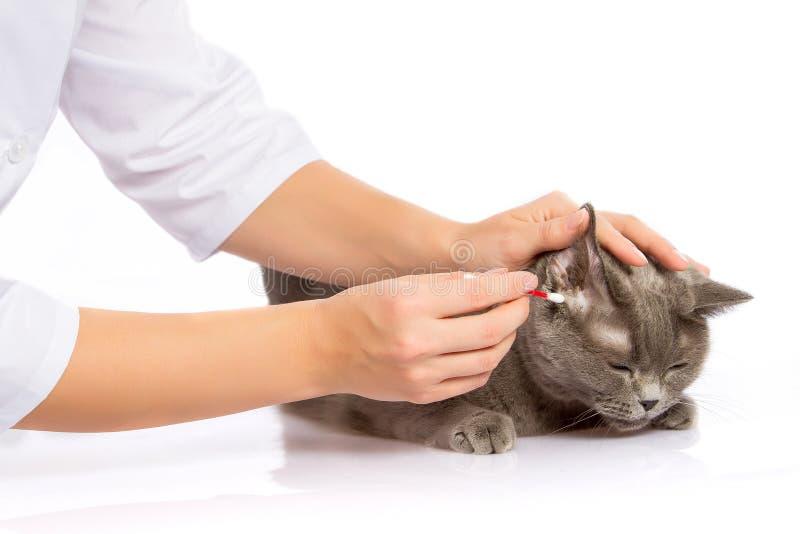 Arts en een Britse kat op witte achtergrond stock foto's