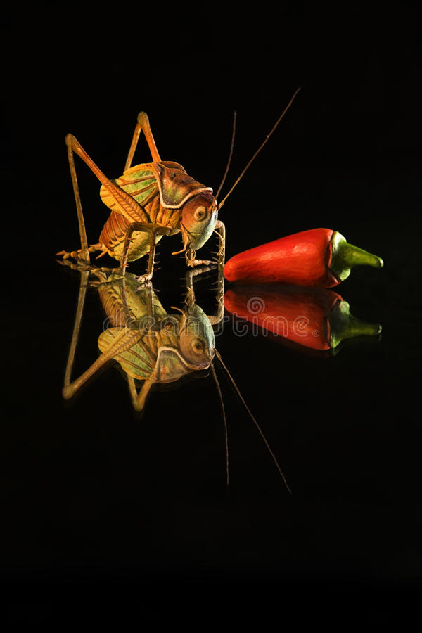 arts of insect and chilli as still life royalty free stock photo