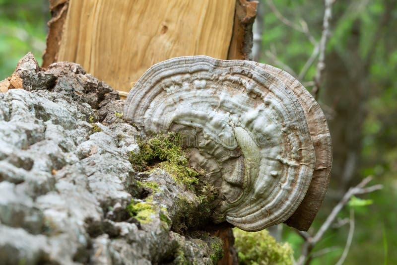 Artysty conk, Ganoderma applanatum dorośnięcie na topolowym drewnie zdjęcia royalty free