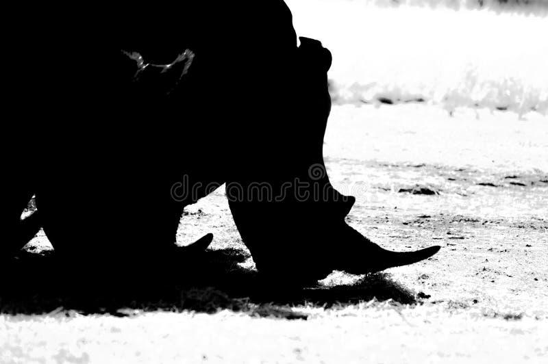 Artystyczna fotografia a, zagra?aj?ca m?skiego byka bia?a nosoro?ec w gemowej rezerwie w Johannesburg Po?udniowa Afryka obraz royalty free