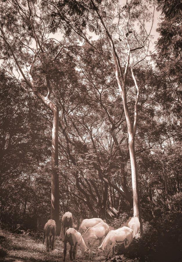 Artystyczny obrazek kózki pasa pod Eukaliptusowymi drzewami ilustracja wektor