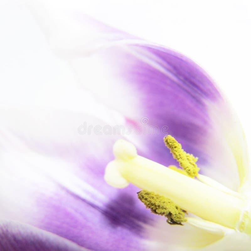 Artystyczny tulipan, zakończenie (tulipa 57) () obraz stock