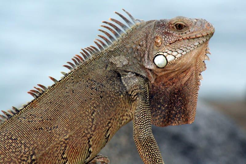 aruba鬣鳞蜥 图库摄影