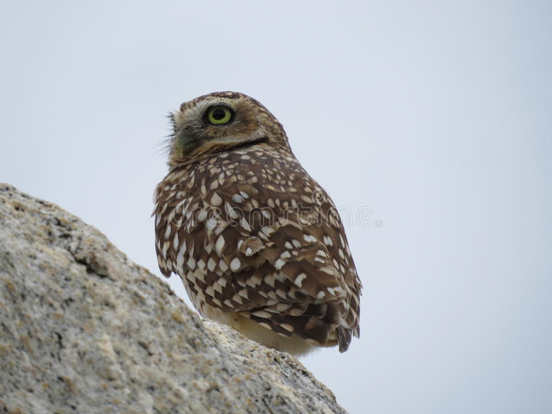 Aruba Owl royalty free stock photos