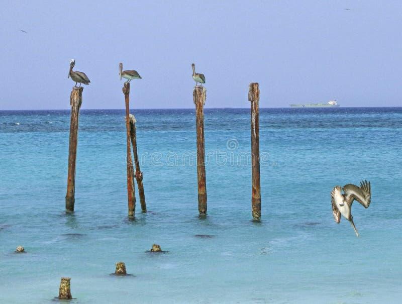 Aruba pelikan arkivbilder