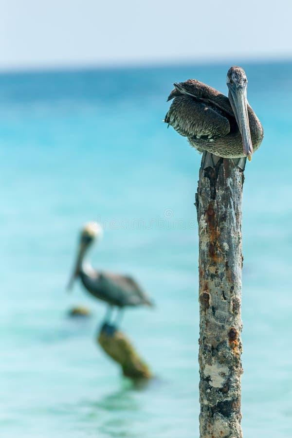 Arubian pelikany zdjęcia royalty free