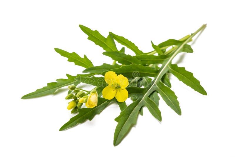 Arugula with flower. Fresh arugula with flower isolated on white stock photos