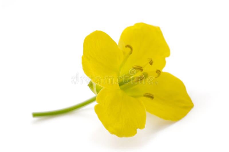 Arugula  flower. Fresh arugula  flower isolated on white royalty free stock photo