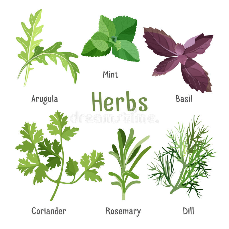 Arugula, fresh mint, purple basil, organic coriander, aromatic rosemary, dill. Kitchen aroma herbs and spices collection in cartoon style. Vector illustration of stock illustration
