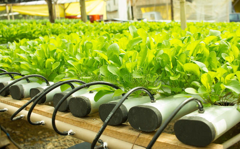 Gentil Download Arugula Plants Growing In Hydroponic Culture Stock Photo   Image:  58675158