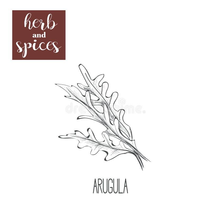 Arugula ręki rysunek herb czosnków bay kardamonowi liści pieprzowe spice waniliowe rosemary soli ilustracji