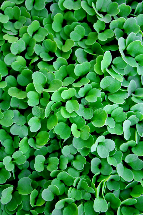 ARUGULA. Small rocket sprouts recently sprung up stock photography