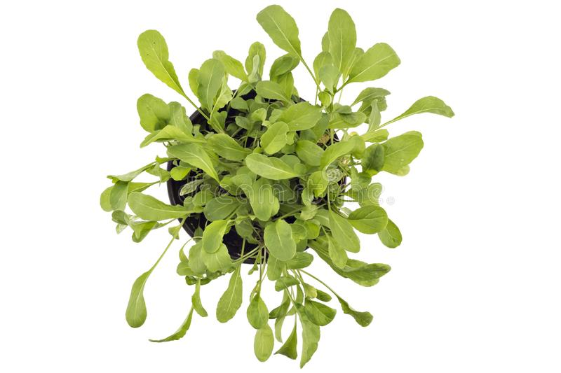 Arugula vert frais dans un pot photos libres de droits