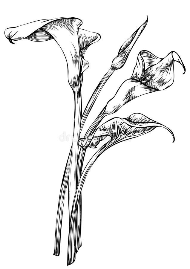 Arum, лилия, Calla иллюстрация штока