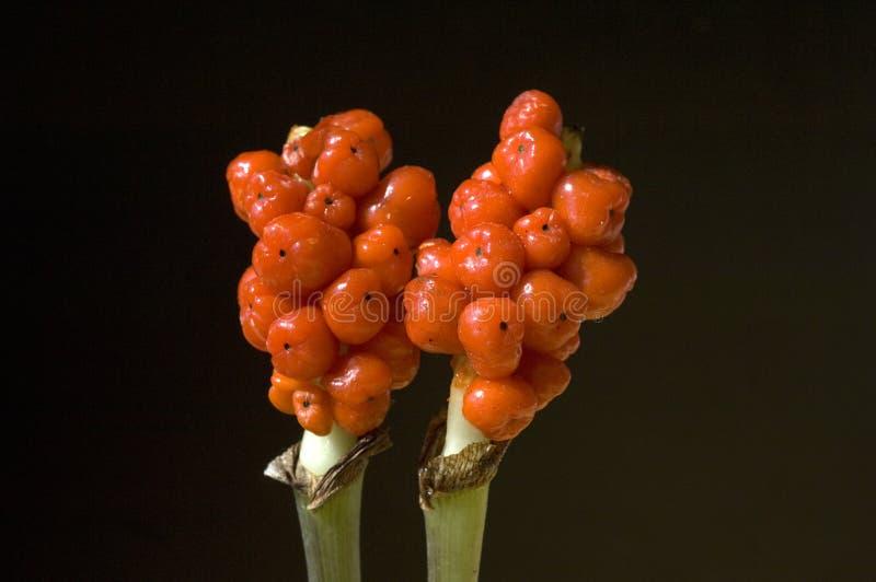 Arum; Italicum; ядовитый; завод стоковые фото