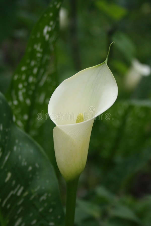 Arum lily royalty free stock image