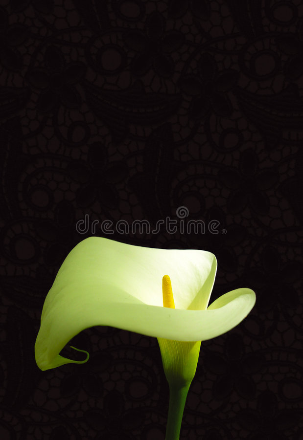 Arum lily. White arum lily, black lace background