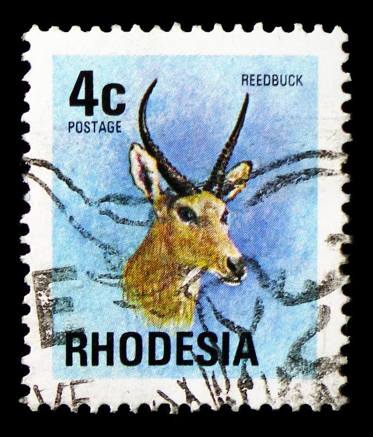 Arundinum di Reedbuck Redunca, serie comuni della flora e di fauna, circa 1974 immagine stock libera da diritti