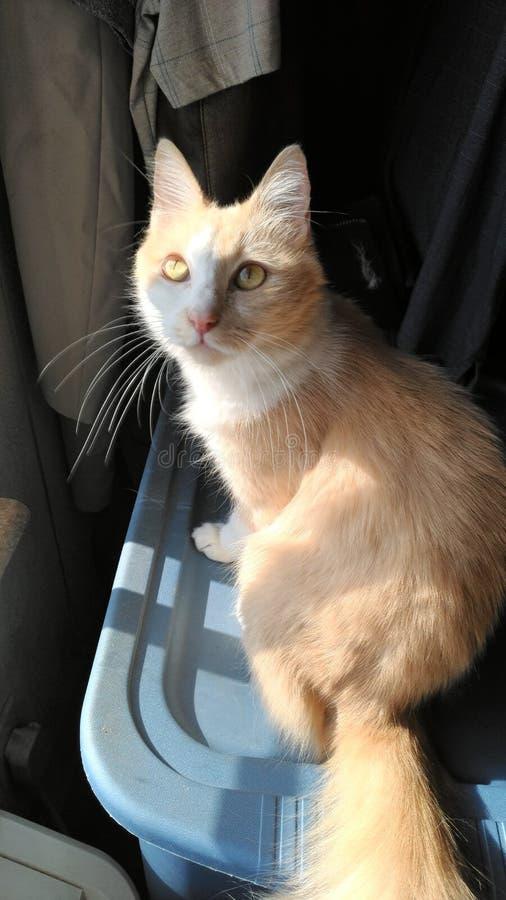 Aruroa. Cat, pet, housecat, orange stock photo