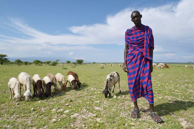 Arusha, Tanzania, February 07, 2016: Massai sheppard and his sheeps. Massai man sheppard in Africa royalty free stock image