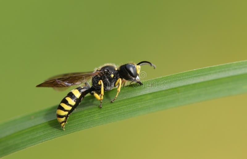 Arvensis die van Gebiedsdigger wasp mellinus op een grassprietje roosting royalty-vrije stock afbeeldingen