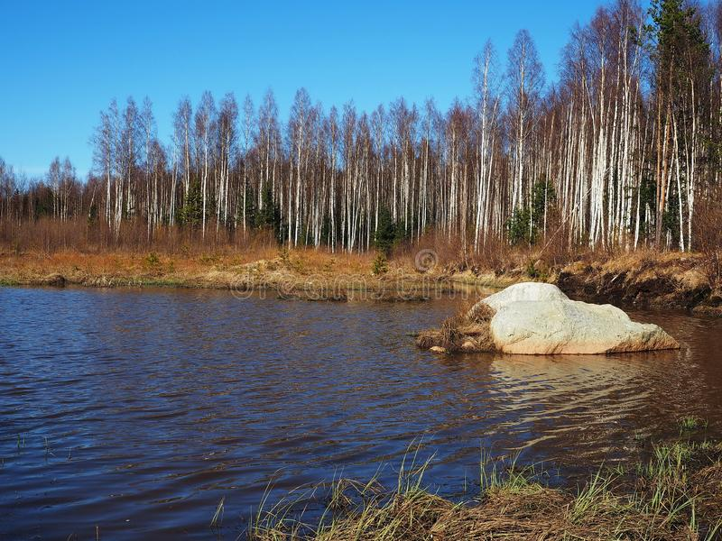 Arvoredo do vidoeiro na mola As ?rvores crescem perto de uma lagoa da floresta detalhes fotos de stock