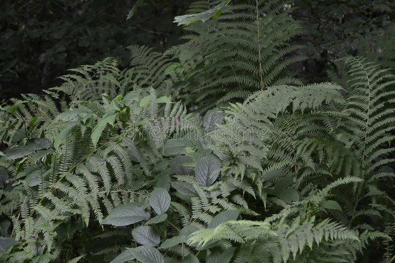 Arvoredos da samambaia na floresta foto de stock