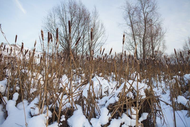 Arvoredos do Cattail durante o inverno fotos de stock royalty free