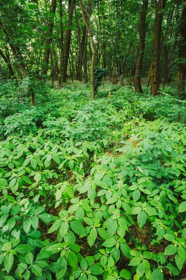 Arvoredos espessos selvagens do Pequeno-florescido Toque-me-Não ou Impatiens imagens de stock