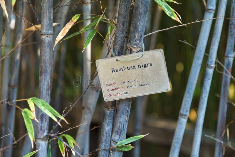 Arvoredos grossos do bambu novo Paisagem Negro do Bambusa imagem de stock royalty free