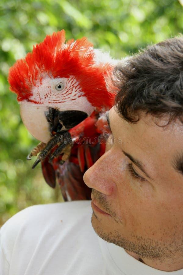 Ary papuga na ramieniu właściciel zdjęcie royalty free