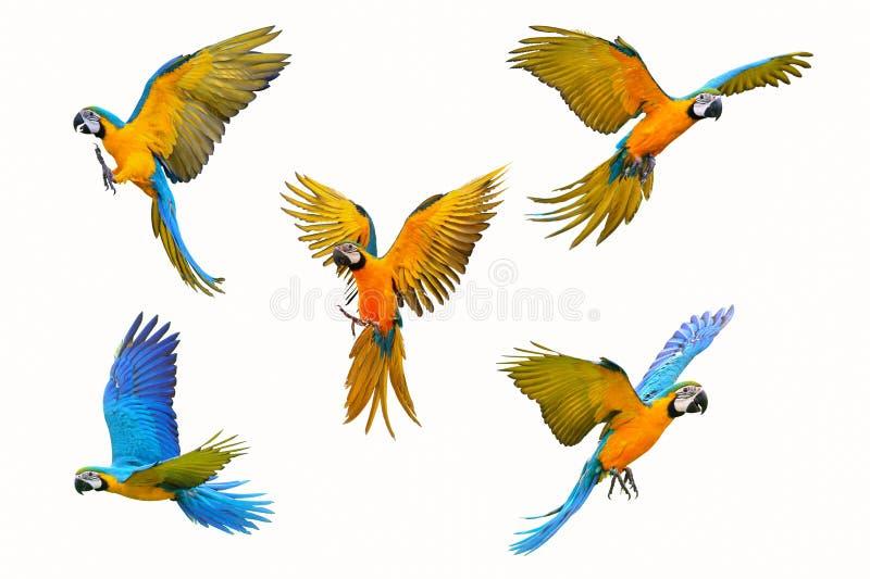 Ary papuga odizolowywająca na białym tle zdjęcie stock