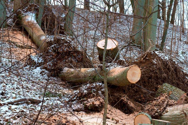 As árvores abatidas, desflorestamento, cotoes de árvores abatidas, abateram o tronco de árvore foto de stock