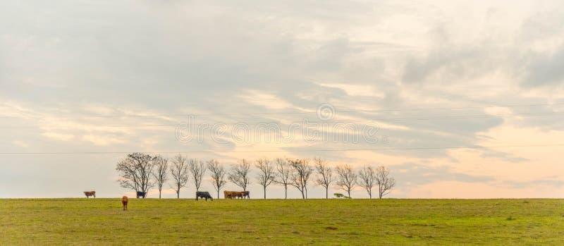 As árvores amarelas 8 do ipê foto de stock royalty free